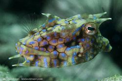 BD-161029-Alor-3724-Lactoria-cornuta-(Linnaeus.-1758)-[Longhorn-cowfish].jpg